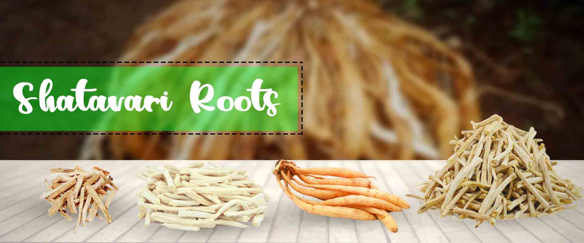 Shatavari Root Suppliers