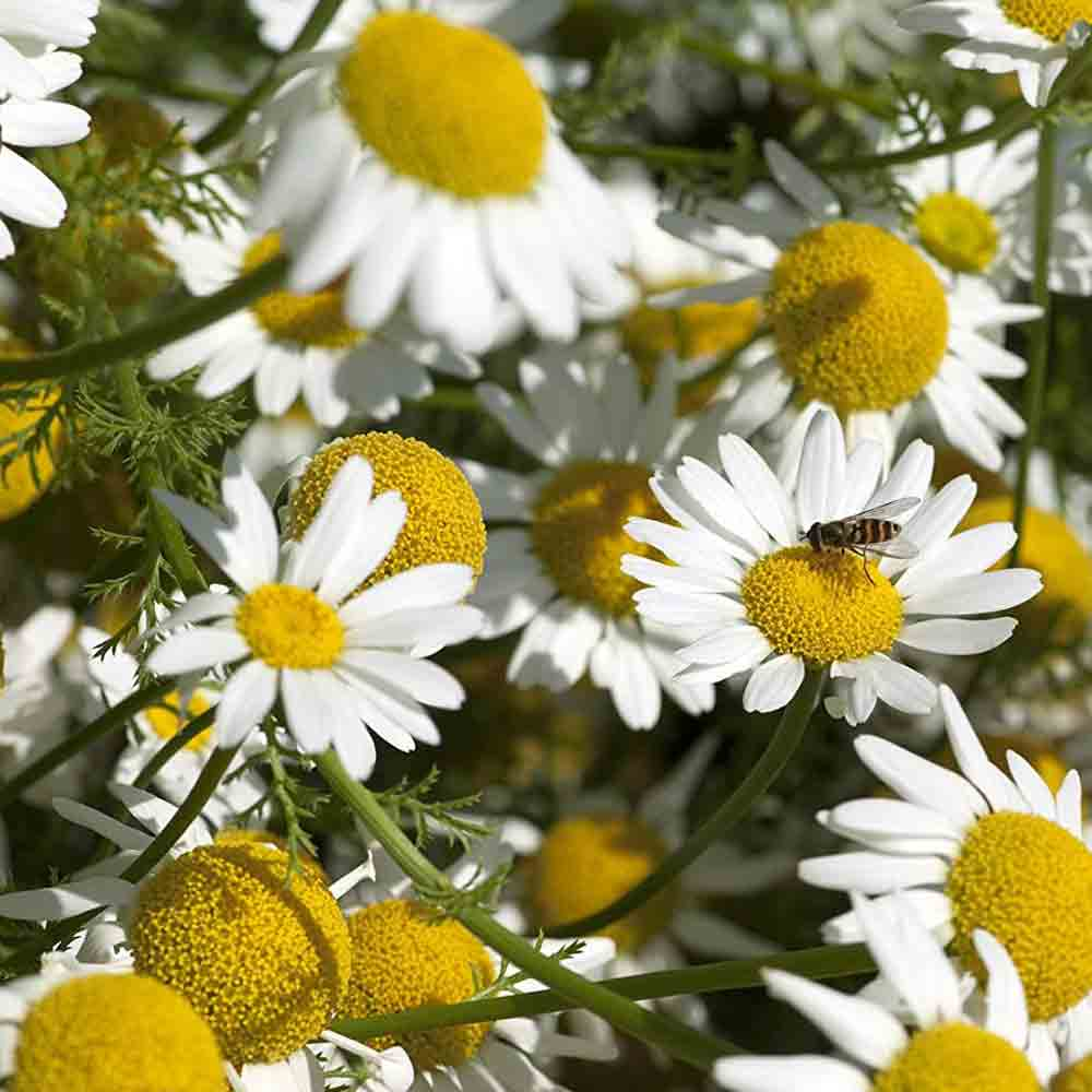 Anacyclus Pyrethrum Plants