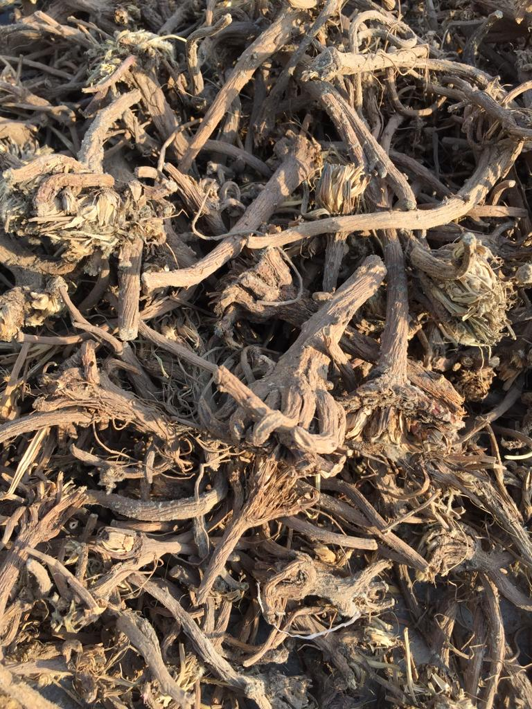 Anacyclus Pyrethrum Root In Dibba Al-Fujairah