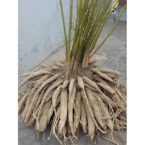 Herbal Shatavari Root  In Karvad